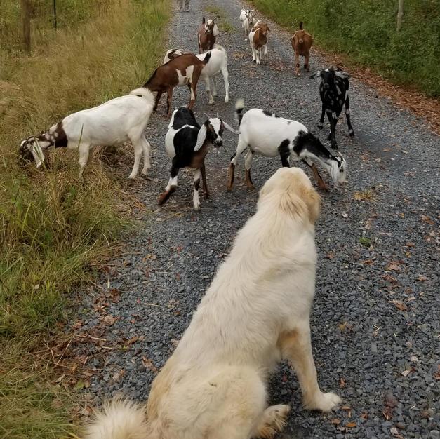 Jinger watching her herd of goats