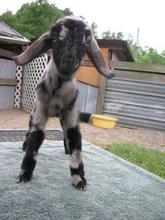 luv em all acres naomi mini goat.jpg