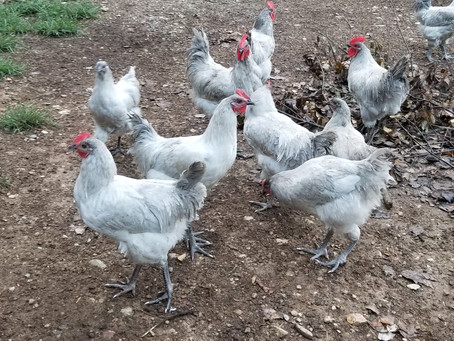 Too many roosters at our Farm