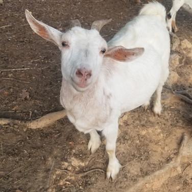 Nigerian Dwarf Goat breeder concord nc.j