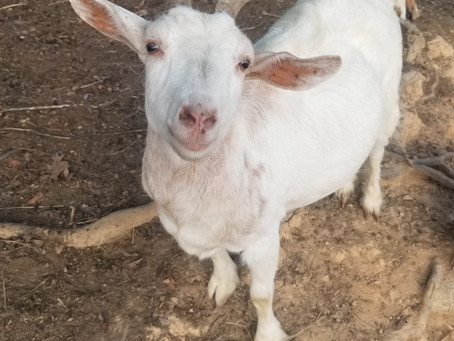 Willow is one of our original goats. What does that mean?