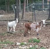 Pregnant Mini Nubian goats.jpg