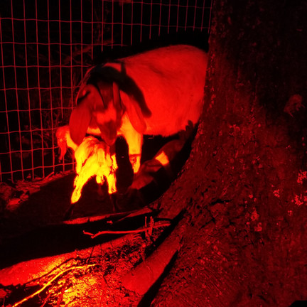Baby goats boer mini nubian NC.jpg