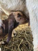 Boer goat breeder mt pleasant nc