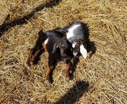 mini nubian cotton bean goat farm.jpg