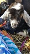 Bottle baby goat nubian sale norwood nc.