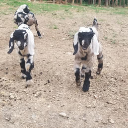 dappled boer buck breeder nc sc ga.jpg
