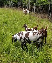 Boer goat breeder raleigh nc.jpg