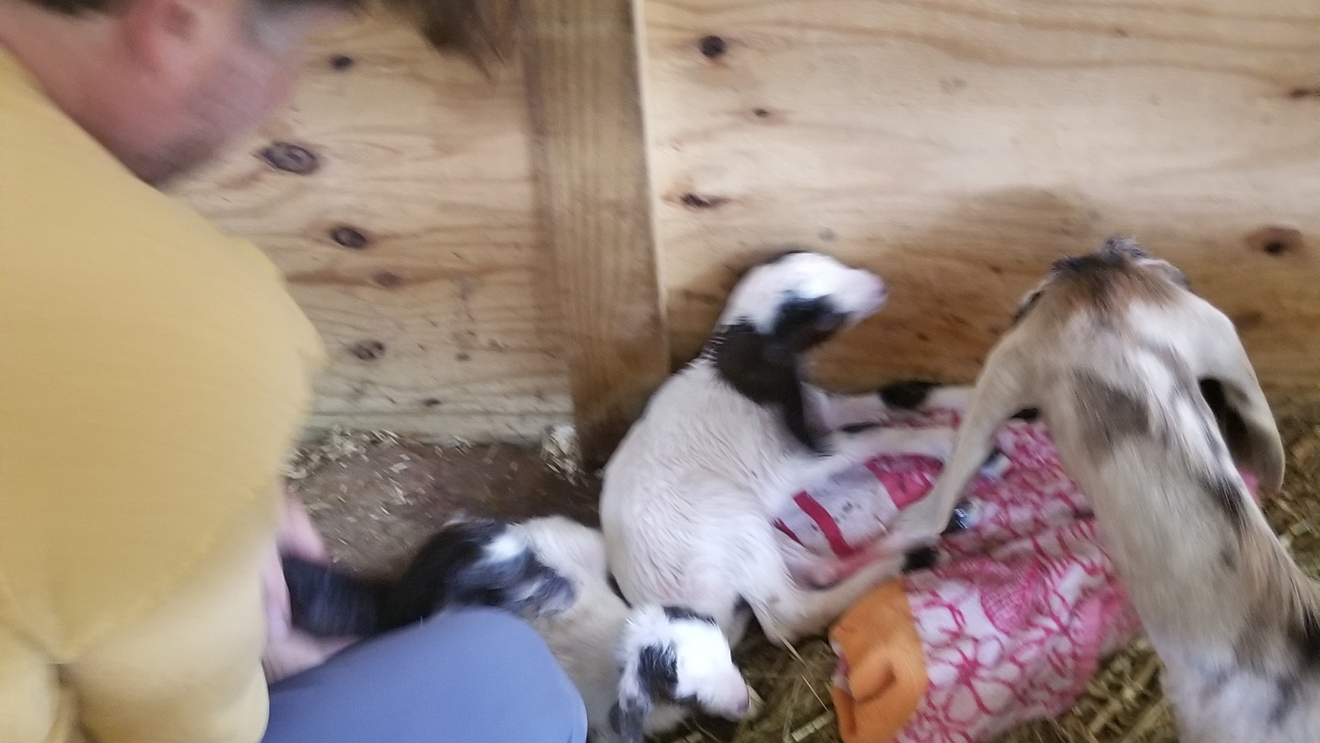 baby goat girls for sale.jpg