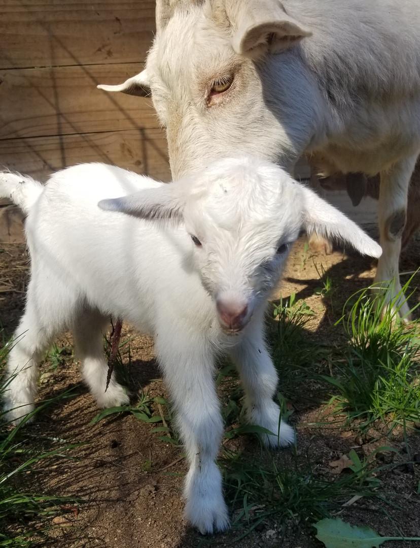 Baby nigerian dwarf goat sale.jpg