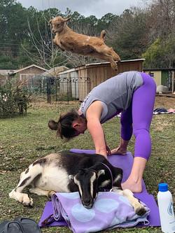Goat Yoga Harrisburg NC