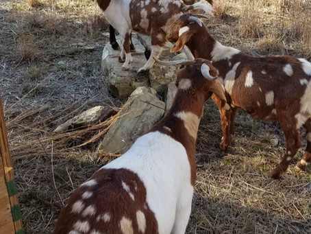 Look at all of our colorful boer goats! Is it baby goat time yet?