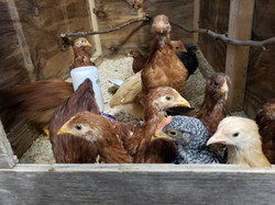 Fresh farm raised chickens for meat processing