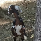 This doeling just want to goat aka dance