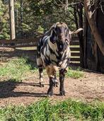 Cotton Bean Farms Terminator Max Boer Goat.jpg