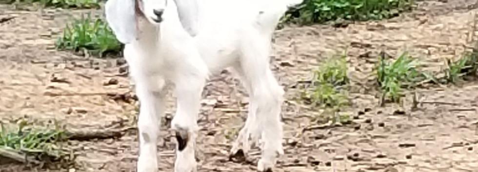 mini nubian baby goat sale sc.jpg