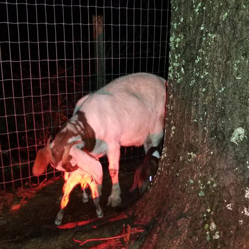 bottle baby goat mt pleasant NC.jpg