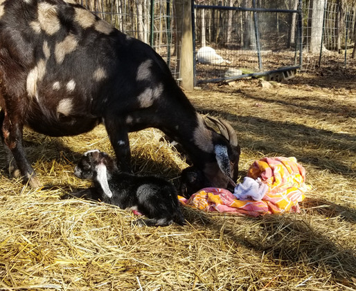 Goat issues after birth.jpg
