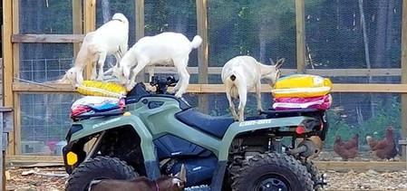 1 goats chickens farm cotton bean_edited