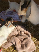 Bottle baby goats for sale mt pleasant n