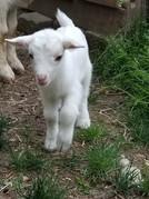 Nigerian Dwarf Goat girl
