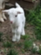 solid white nigerian dwarf goat.jpg