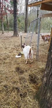 pregnant boer goat mt pleasant nc.jpeg