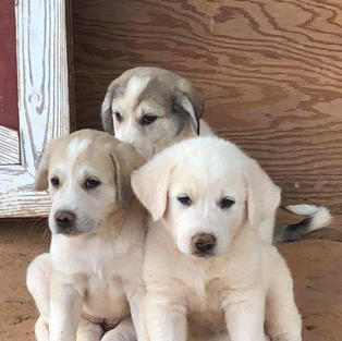 Jake and his brothers as puppies!