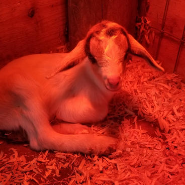 bottle baby goat for ale concord.jpg