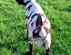 Max Boer goat Buckling for sale.jpg