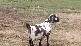 Our Boer Goat, Kate, is starting to look thick