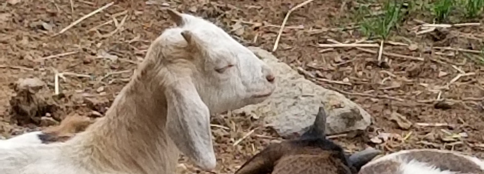 cotton beab goat for sale NC.jpg
