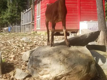 Introducing Bella goat!