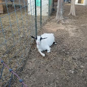 Nigerian dwarf bottle baby goat sale nc.
