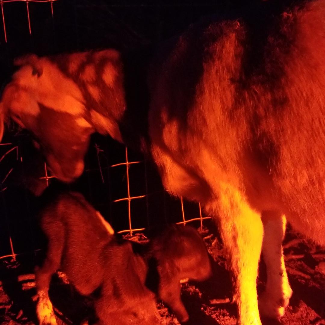 baby boy goat for sale NC.jpg