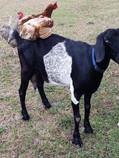 Eddy Place Blue Diamond Nubian goat doe.