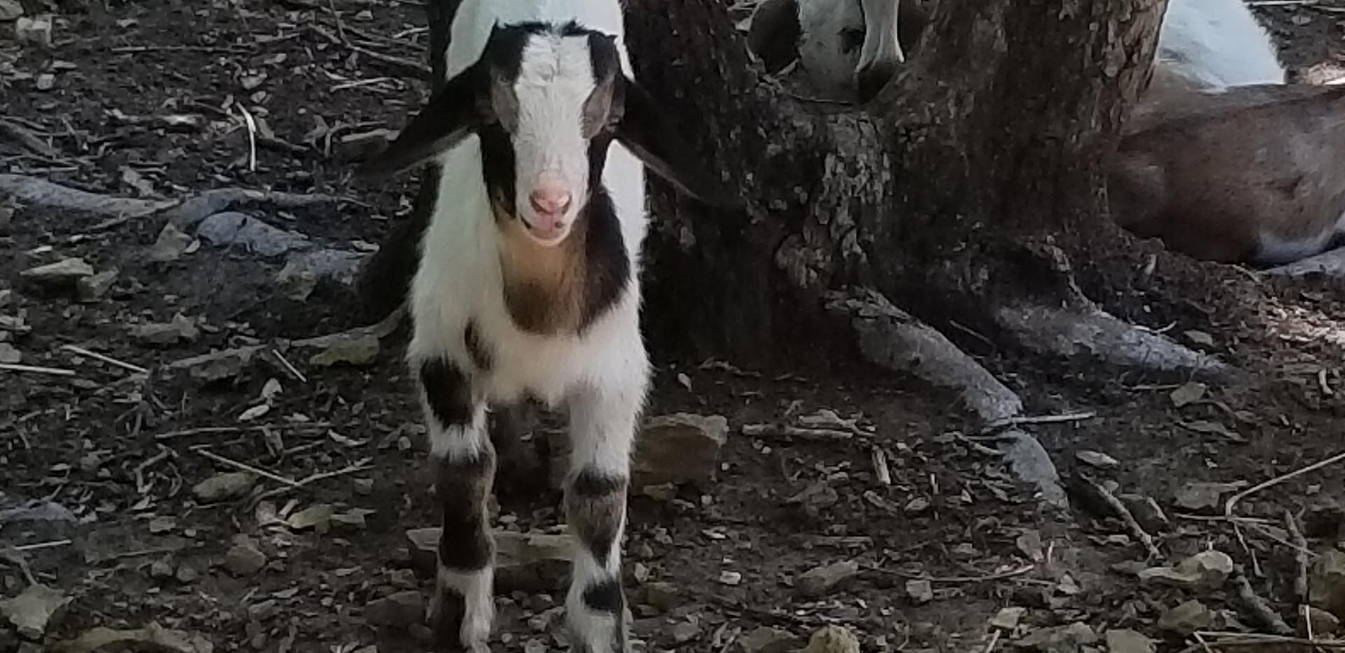 Cotton Bean mini nubian goat farm.jpg