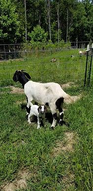 Laverne Commercial Boer Nanny Goat
