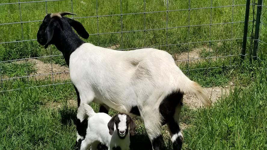 White black doe boer baby sc.jpg