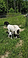 "July 2020: No, I didn't know she was pregnant. I came out to see a beautiful black headed boer doeling by her side.  We thought she had twins but it turned out that our red boer Nanny also had a black headed boer baby the same night. ​  Let's talk about Goat Love at first sight. It happened in January 2020 for me. Anyone who knows me, knows I love Mini Nubian's. There was something about this boer doe. I laid eyes on her and knew that I wanted her to join our breeding plan and farm family here at Cotton Bean Goat Farm.   As god would have it, I was supposed to get her to save her.  She was part of the ""Mean Goat Girl"" club. I couldn't touch her and she would run as far away as she could go when I entered the pasture. We lost her sister to worm load because we couldn't get our hands on her. We unknowingly purchased them worm loaded.  When she went down I was able to catch Laverne. I quarantined her in a goat birthing pen to treat her worm load and began anemia support. She got red cell daily, alfalfa hay, vitamin B, pro bios, etc. Day by day she got better and I began to spoil her with treats. I gave her animal crackers, carrots, spinach, oranges, bananas and any other veggie I had in the house. She had a secret of course, she was pregnant during this time. I'm grateful I didn't know because in the beginning we had to man handle her to treat her.  Had I know she was expecting baby goats I may have let a few anemia support treatments go when she fought me.  She is still a little standoffish but will let me rub her nose and take treats. This is why it is important to be able to handle your goats. It's hard to get a famacha on them when you can't touch them. It's also hard to hold them for baby goats when a first time doe kids if she runs and fights you.   The hardest thing about being a self proclaimed Goat Moma is loosing a goat. It doesn't matter why you loose them, they still take a piece of your heart with them.  I have studied and learned as much as I can. I offer to help and mentor other goat owners so they don't have to learn the hard way. It's hard to take care of them if you can't touch them! I would pay extra for a socialized goat!​  Note: Find a good goat vet before you get goats!"