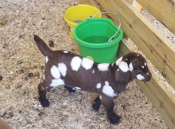 Dappled Goat For Sale.jpg