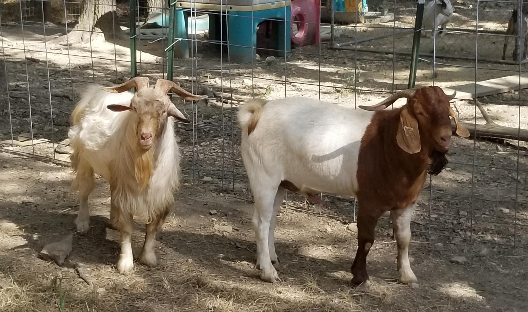 Boer / Kiko buck, herd sire for sale