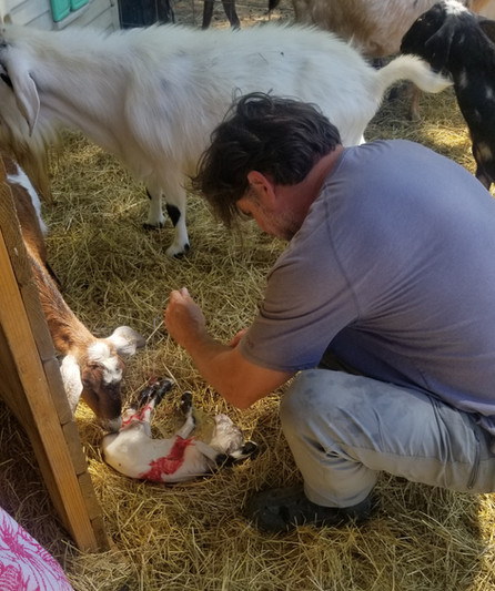 mini nubian buckling birthing.jpg