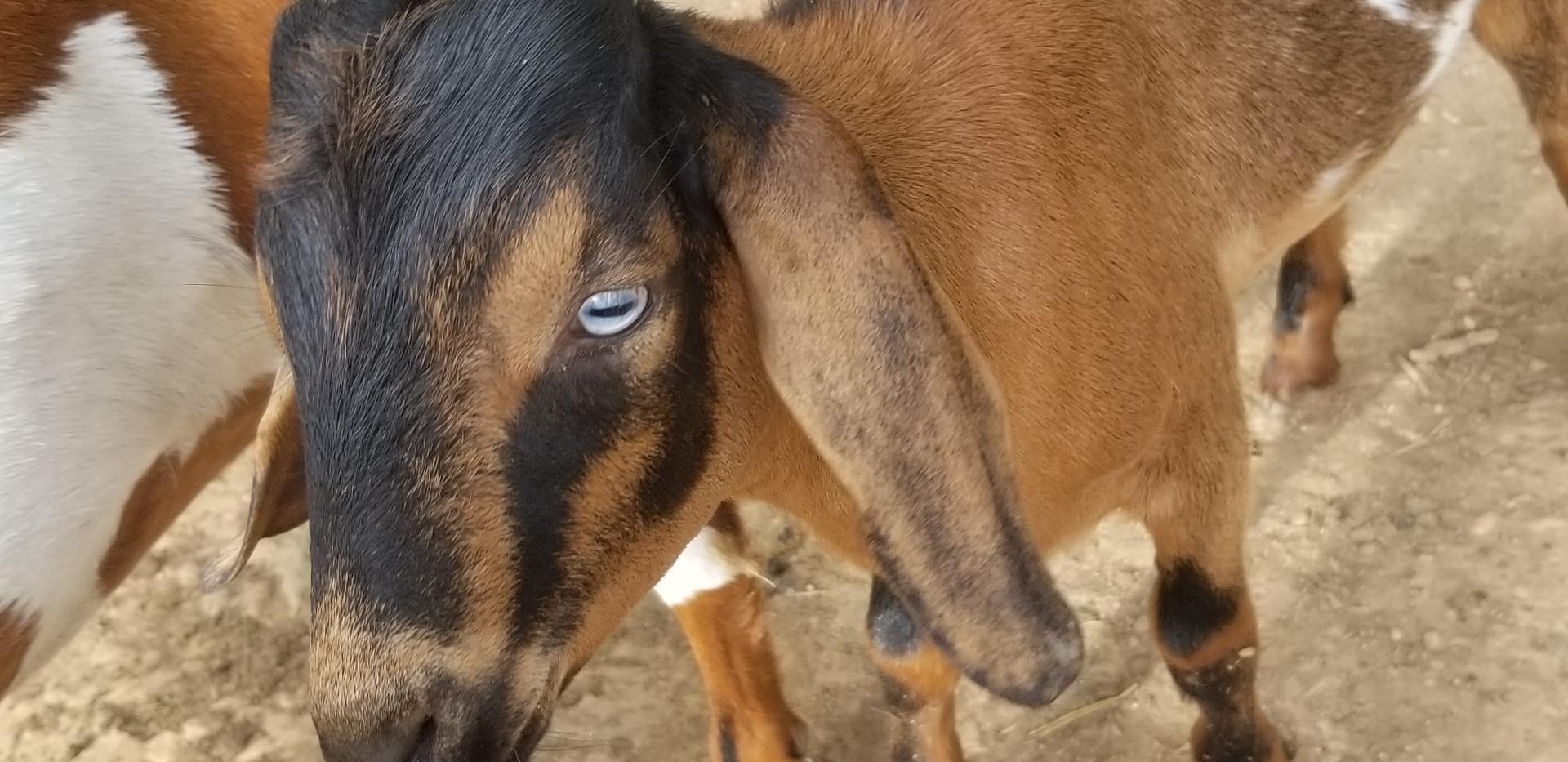 blue eye mini nubian breeder concord nc.