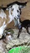 Girl mini nubian goat for sale midland.j