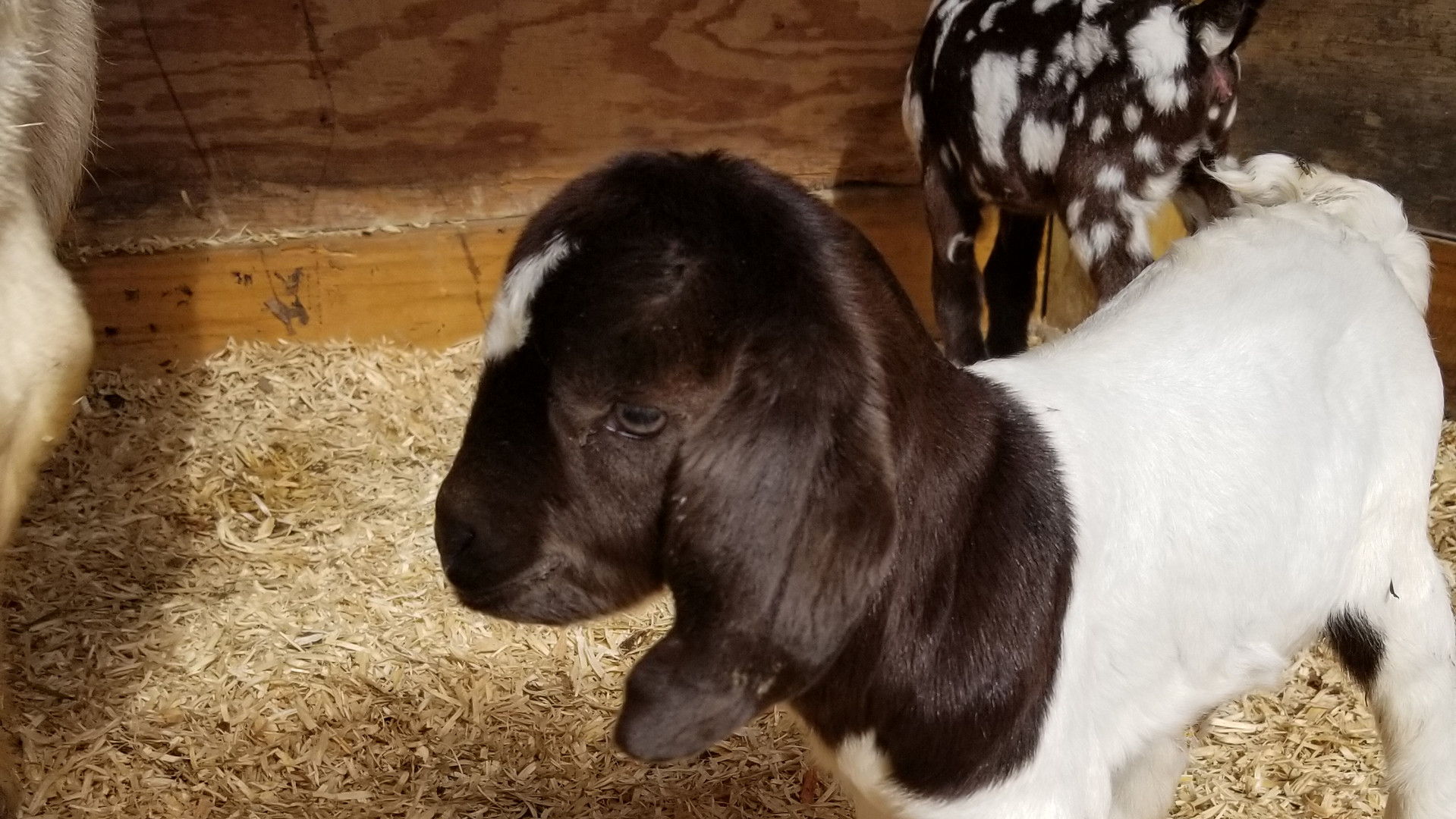 The baby goats are up!