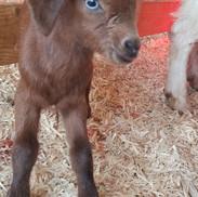 bottle baby goat for sale mt pleasant nc