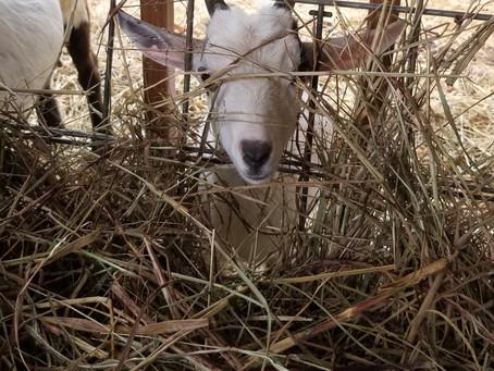 This Nigerian Dwarf goat is farm shopping!