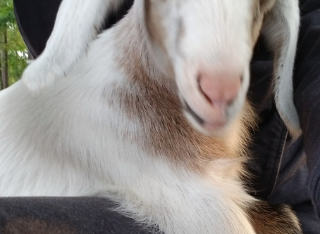 The rumors are true at Cotton Bean Goat Farm