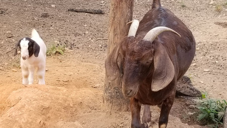 Red Boer breeder Concord NC.jpg